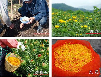 紅花の種まき、開花、花摘み、生花の写真